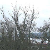 Kormorane  am 15.3.13 in Harle.      Foto: Ulrike Mose