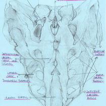 Sacrum Posterior