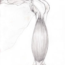 Bisceps Brachii Muscle