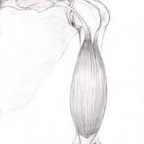 Aquila-images-Boaz-George-medical-illustration-Bisceps-Brachii-Muscle