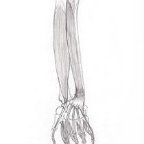 Aquila-images-Boaz-George-medical-illustration-Flexor-Digitorum Profundus-Flexor- Pollicis-Longus