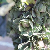 冬野菜プチヴェール