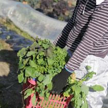 自家農園野菜収獲中