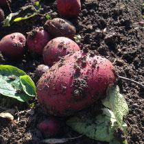 自家農園野菜ジャガイモレッドムーン
