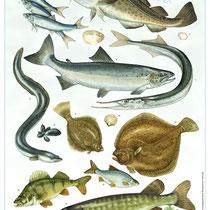 Fischposter für die Inselinformation Hiddensee