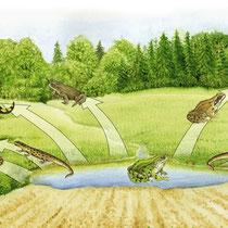 Amphibienwanderung