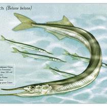 Hornfisch