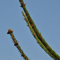 Branche de sapin Epicéa de Savoie