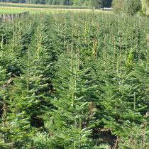 Plantation de sapins Nordmann en Savoie