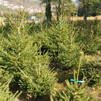 Plantation de sapins Epicéa en Savoie