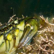 Krabbe zwischen Korallen © Robert Hansen