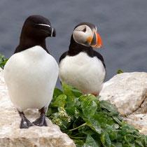 Vogelinsel Hornøya, Norwegen. Juni 2013 © Robert Hansen