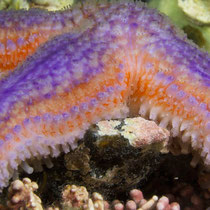 Gewöhnlicher Seestern mit ungewöhnlicher Färbung © Robert Hansen