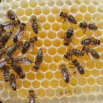 Bild: Bienen auf Honigwabe