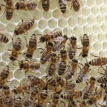 Bild: Bienen beim Wabenbau