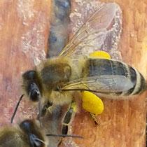 Bild: Biene mit Pollen