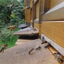 Bild: Bienen im Anflug vor dem Flugloch