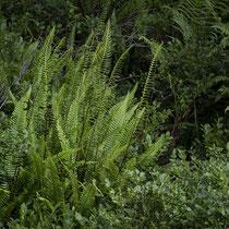 Rippenfarn  •  Struthiopteris spicant / Blechnum spicant. Habitus eines zwischen Heidelbeeren (Vaccinium myrtillus) wachsenden Rippenfarns. © Françoise Alsaker