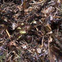Rippenfarn • Struthiopteris spicant / Blechnum spicant. Im Februar aufgenommen. © Françoise Alsaker