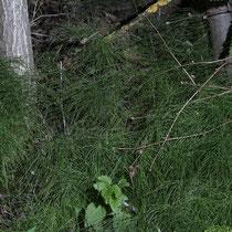 Wiesen-Schachtelhalm  •  Equisetum pratense.  © Françoise Alsaker