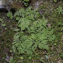 Berg-Blasenfarn  •  Cystopteris montana. Der Berg-Blasenfarn bildet lockere Rosetten oder wächst rasig.  © Françoise Alsaker