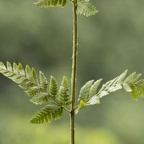 Dorniger Wurmfanr  •  Dryopteris carthusiana. Unterstes Fiedernpaar. © Françoise Alsaker