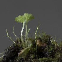 5 Monate nach  dem Ausstreuen der Sporen sind bereits 2  Sporophyten aus den Prothallien gewachsen. © Françoise Alsaker