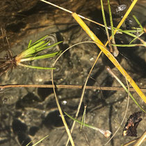 See-Brachsenkraut.  •  Isoëtes lacustris Am Seeufer angeschwemmte Blätter und Pflanzen. © Muriel Bendel