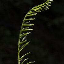 Rippenfarn  •  Struthiopteris spicant / Blechnum spicant. Junges fertiles Blatt. © Françoise Alsaker