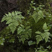 Eichenfarn  •  Gymnocarpium dryopteris.  © Françoise Alsaker