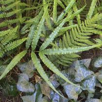 Kretischer Saumfarn  •  Pteris cretica. Kretischer Saumfarn, zusammen mit dem Borstigen Schildfarn (Polystichum setiferum) in einem Tobel im Tessin. © Muriel Bendel