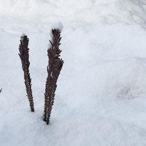 Straußfarn  •  Matteuccia struthiopteris. Die fertilen Blätter bleiben im Winter aufrecht. © Françoise Alsaker