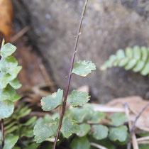 Braungrünstieliger Streifenfarn  •  Asplenium adulterinum. Im Winterhalbjahr fallen die Fiedern einzeln von der Blattspindel ab. © Muriel Bendel