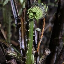 Straußfarn  •  Matteuccia struthiopteris. Junges fertiles Blatt. © Françoise Alsaker