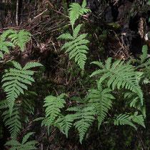 Buchenfarn  •  Phegopteris connectilis. Der Buchenfarn wächst locker rasig, das unterste Fiederpaar ist meist schräg abwärts gerichtet.  © Françoise Alsaker