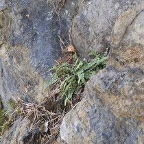 Braungrünstieliger Streifenfarn  •  Asplenium adulterinum.  © Muriel Bendel