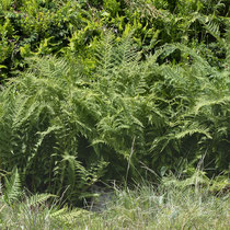 Gebirgs-Frauenfarn  •  Pseudathyrium alpestre / Athyrium distentifolium.  © Françoise Alsaker