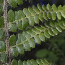 Brauns Schildfarn  •  Polystichum braunii. Die Fiederchen und Fiederspindel sind locker bis dicht mit 5 mm langen, hellbraunen, haarförmigen Spreuschuppen bedeckt. © Françoise Alsaker