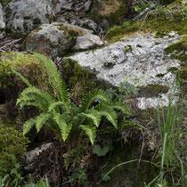Lanzenfarn  •  Polystichum lonchitis. Habitus des Lanzenfarns zwischen Kalksteinen in subalpiner Lage. © Françoise Alsaker