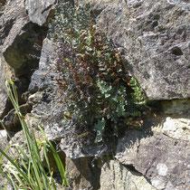 Pelzfarn  •  Notholaena marantae. Abhängig vom Standort bildet der Pelzfarn lockere bis dichte Rosetten. © Muriel Bendel