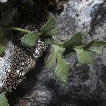 Mauerraute  •  Asplenium ruta-muraria. Junge Blätter sind oft drüsig; meist verkahlen sie, selten bleiben sie zerstreut drüsig. © Françoise Alsaker