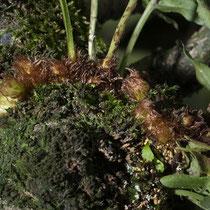 Gallischer Tüpfelfarn  •  Polypodium cambricum. Das Rhizom ist dicht mit Spreuschuppen bedeckt. © Françoise Alsaker