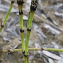Bunter Schachtelhalm  •  Equisetum variegatum. Die Sprosse des Bunten Schachtelhalms sind unverzweigt und wintergrün. © Françoise Alsaker