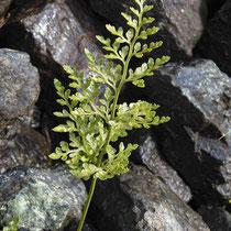 Keilblättriger Streifenfarn  •  Asplenium cuneifolium. Die Blattspreite ist 2- bis 3-fach gefiedert, kahl und etwas steif, die Oberseite ist matt bis leicht glänzend. © Muriel Bendel