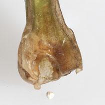 See-Brachsenkraut.  •  Isoëtes lacustris Die Sporen (hier: Makrosporen) sind auf der Innenseite der Blattbasis ins Gewebe eingesenkt. © Françoise Alsaker