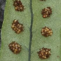 Polypodium × shivasiae. Die Sori von Tüpfelfarn-Hybriden sind teilweise zweifarbig. Botanischer Garten Bern, Ende März © Françoise Alsaker