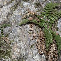 Foreser Streifenfarn  •  Asplenium foreziense. Der Foreser Streifenfarn wächst nur auf kalkarmen Böden. © Françoise Alsaker