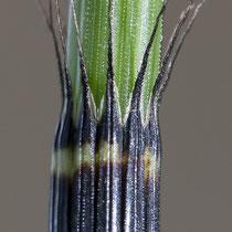 Rauzähniger Schachtelhalm  •  Equisetum × trachyodon. Auf den Zähnen der Blattscheiden befinden sich zur Spitze gerichtete Stacheln. © Françoise Alsaker