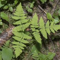 Eichenfarn  •  Gymnocarpium dryopteris. Die Blattspreite ist breit dreieckig. © Françoise Alsaker
