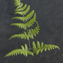 Ruprechtsfarn  •  Gymnocarpium robertianum.  © Françoise Alsaker